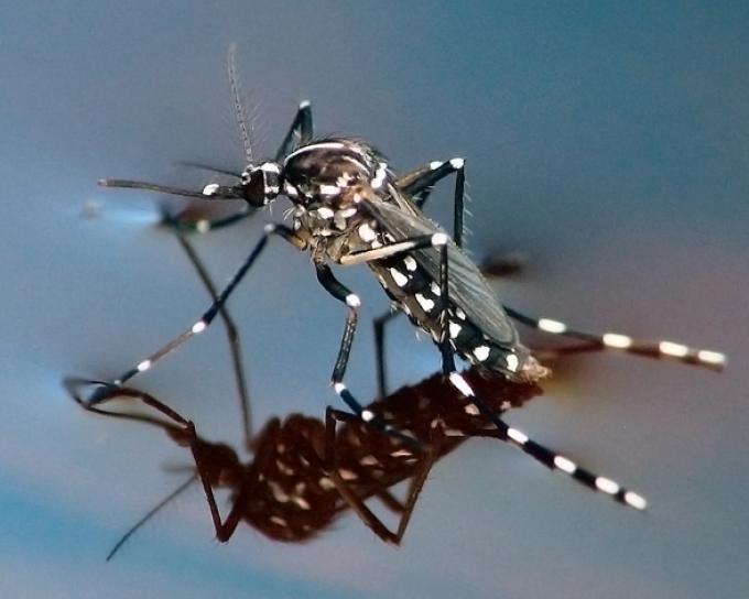 Mosquito tigre en carcoma.science todo lo que necesitas saber sobre el mosquito tigre